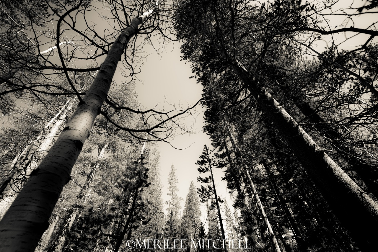 Eastern Sierra Forest. Copyright Merilee Mitchell
