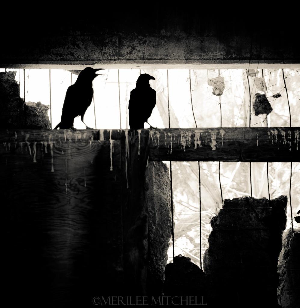 Crows 2. Copyright Merilee Mitchell