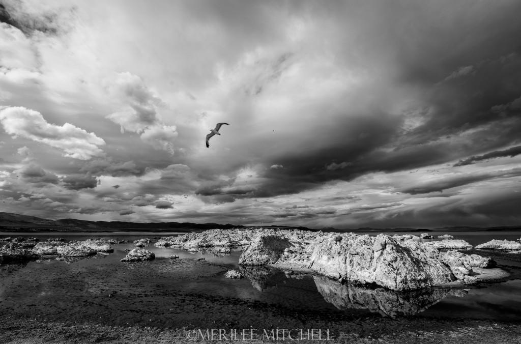 Mono Gull. Copyright Merilee Mitchell