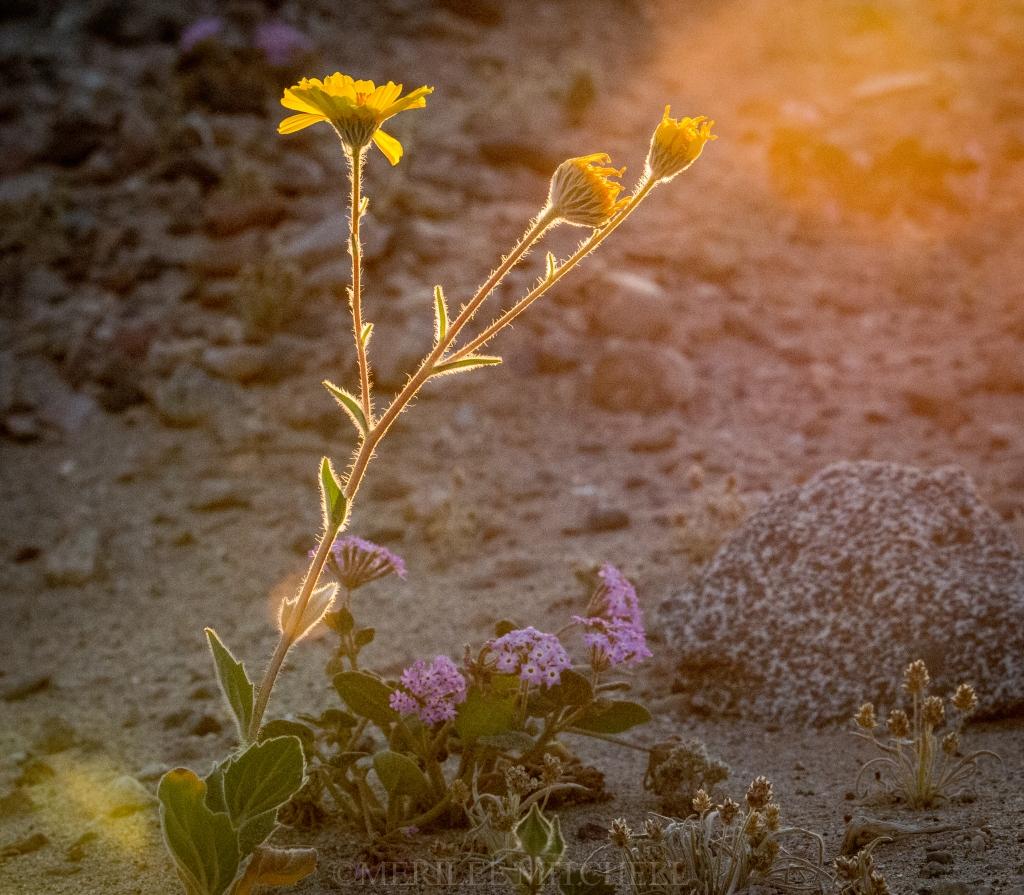 Dumont Flowers. Copyright Merilee Mitchell
