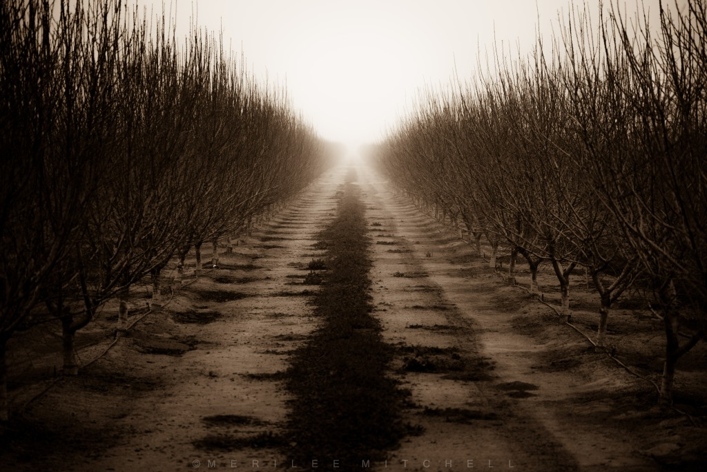Foggy Orchard 2. Copyright Merilee Mitchell