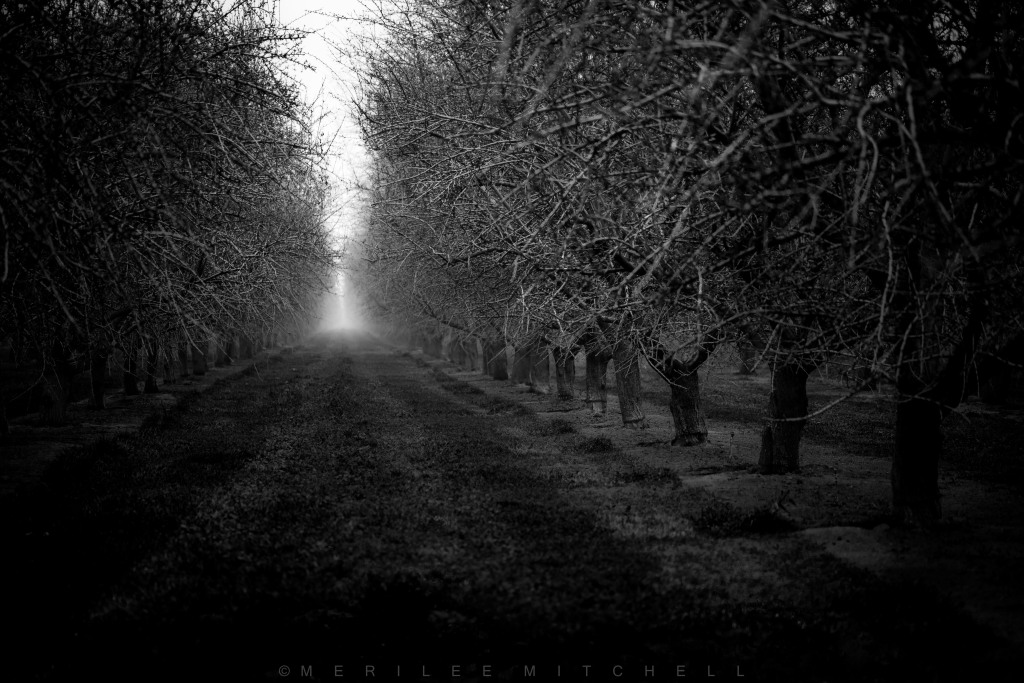 Foggy Orchard. Copyright Merilee Mitchell
