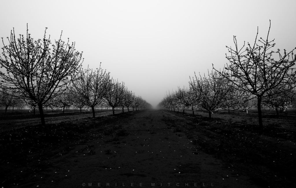 Almond Orchard. Copyright Merilee Mitchell