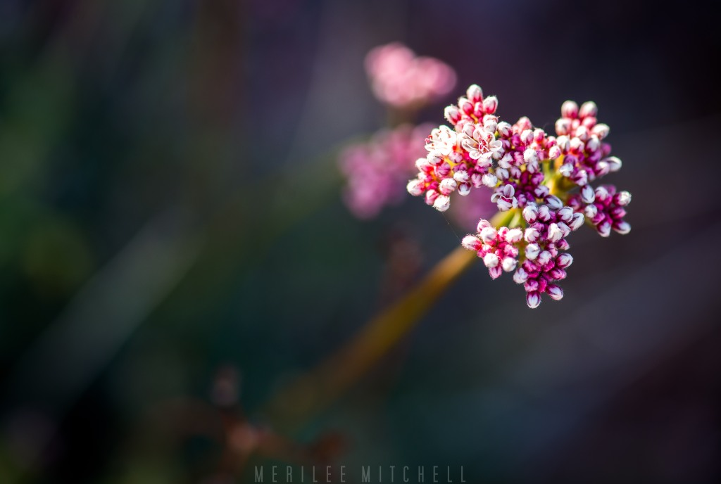 Buckwheat 2. Copyright Merilee Mitchell
