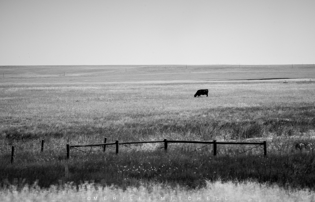 Lone Steer. Copyright Merilee Mitchell
