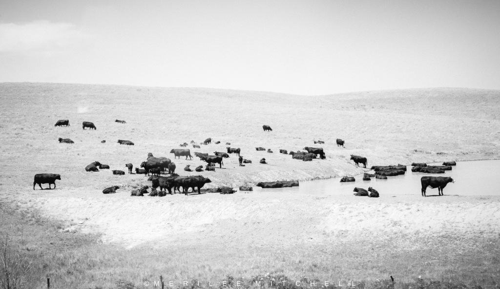 cattle-copyright-merilee-mitchell
