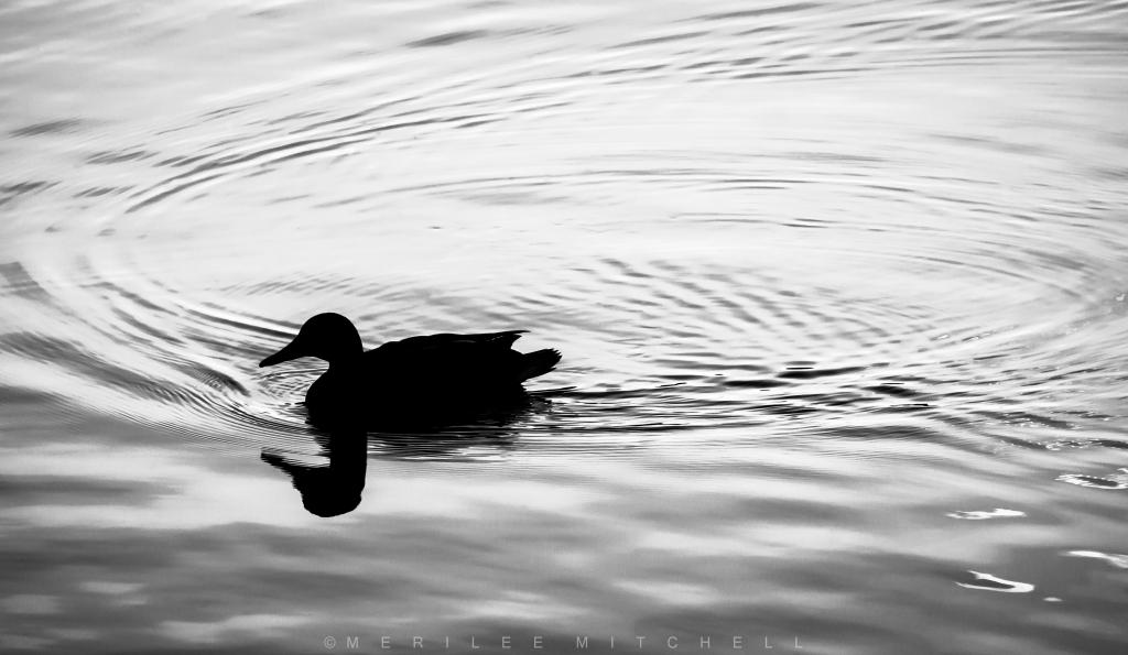 duck-copyright-merilee-mitchell
