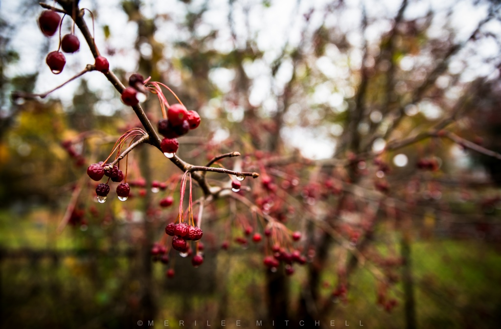wet-crabapples-copyright-merilee-mitchell