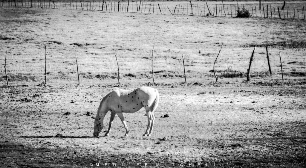 lone-horse-copyright-merilee-mitchell
