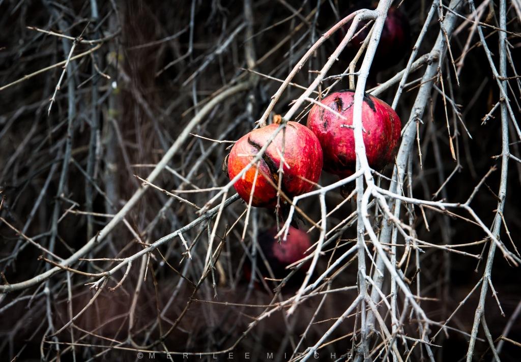 pomegranates-copyright-merilee-mitchell-2017