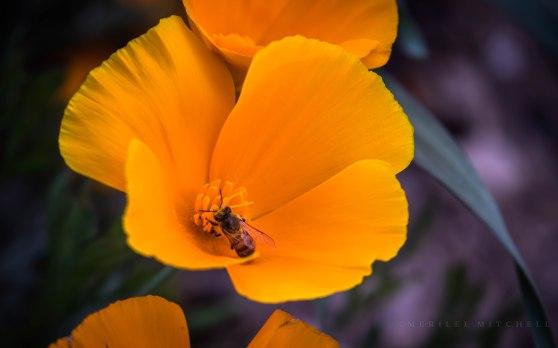 Poppy with Bee. Copyright Merilee Mitchell 2019