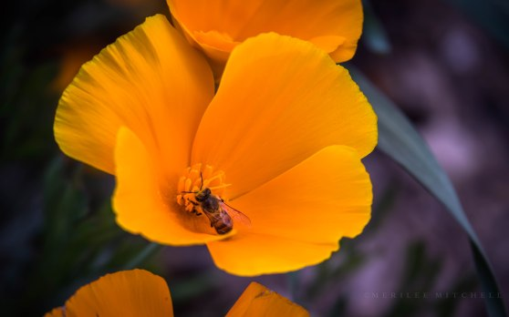 Poppy with Bee. Copyright Merilee Mitchell 2019