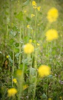 Mustard 4. Copyright Merilee Mitchell 2019