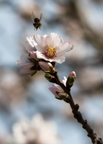 Bee and Blossom. Copyright Merilee Mitchell (2)