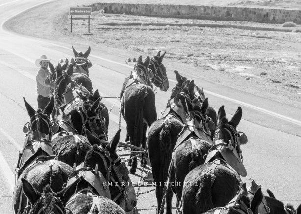 Death Valley Mules. Copyright Merilee Mitchell-1